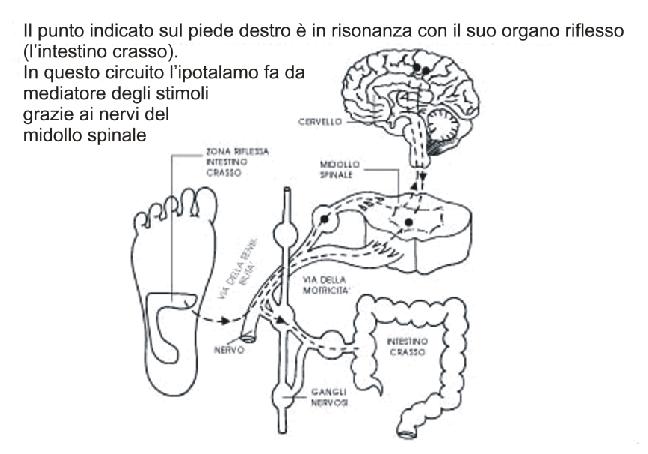 schema del circuito nervoso della riflessologia plantare