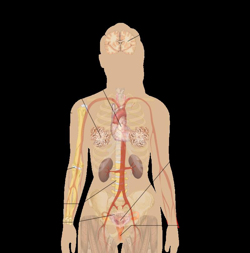 Sintomi Menopausa ed organi coinvolti